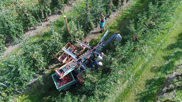 Récoltes des pommes